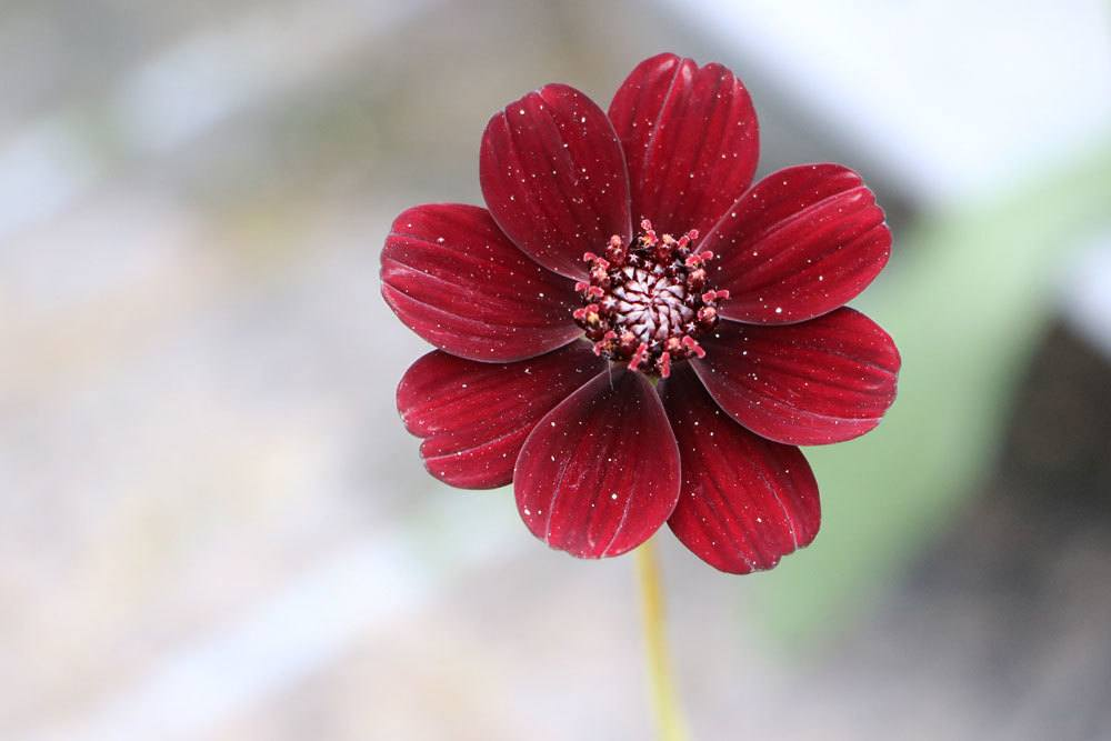 Schokoladenblume mit dunkelpurpurner Blütenfärbung