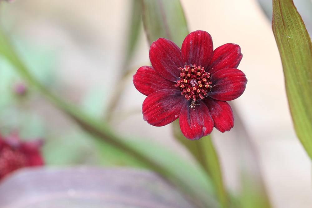 Schokoladenblume ist für Beet oder Kübel geeignet