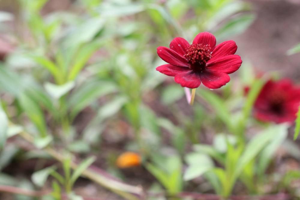 Schokoladenblume stammt aus Mexiko