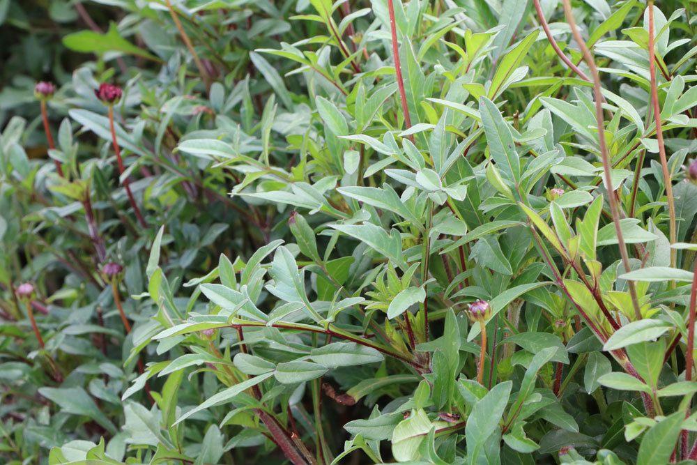 Schokoladenblume mit ihren dünnen, dunkelgrünen Blättern