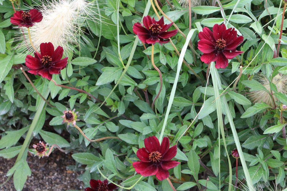 Schokoladenblume ist eine Knollenpflanze