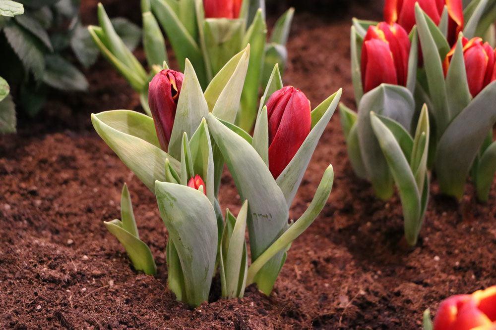 Tulpe, Tulipa