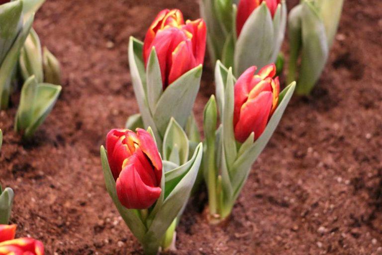 Tulpen richtig pflanzen