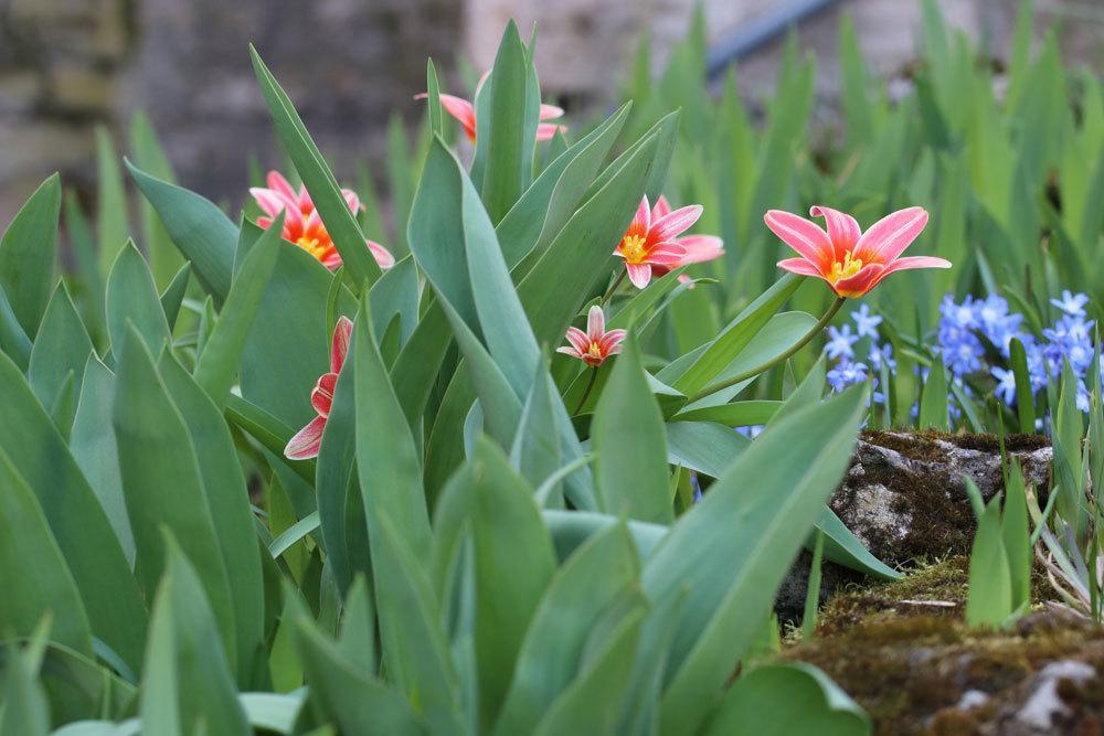 Tulpen richtig in die Erde pflanzen