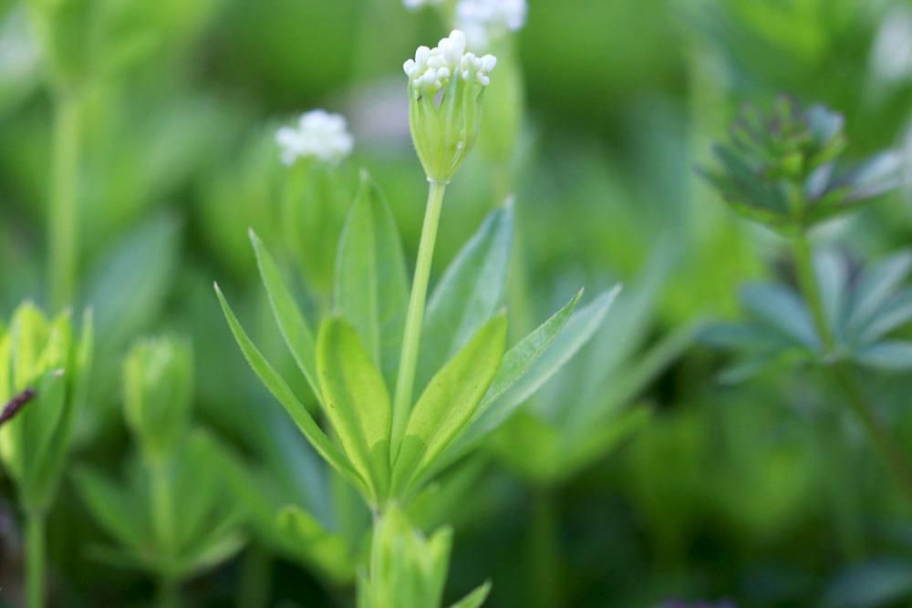 WaldmeisterGalium odoratum