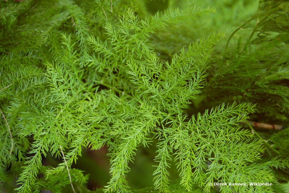 Asparagus setaceus, Federspargel