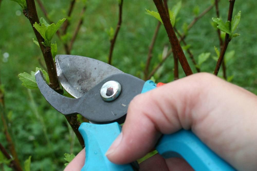 Hibiskus ist eine schnittverträgliche Pflanze