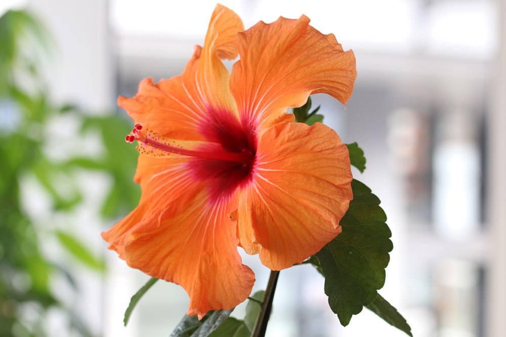 Zimmerhibiskus mit orangener Blüte