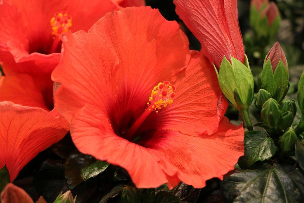 Hibiskus-Pflanze mit roten Blüten