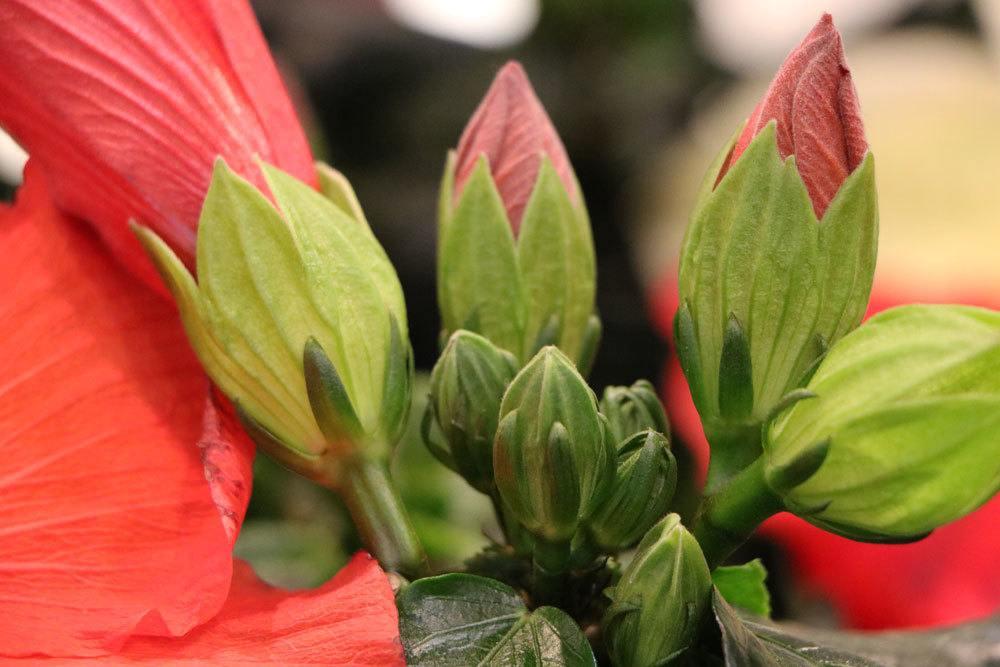 Hibiskus-Pflanze mit roten Blütenknospen
