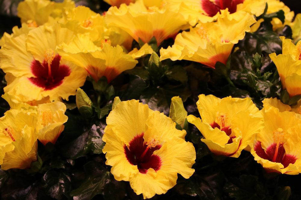 Zimmerhibiskus mit gelben Blüten