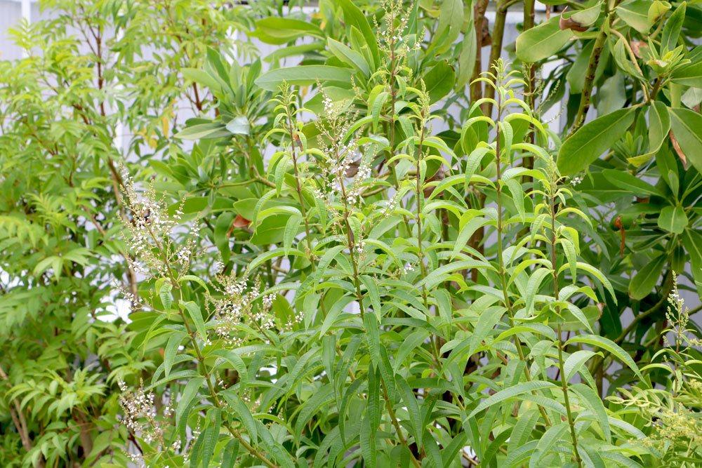 Die Blätter der Zitronenverbene duften stark