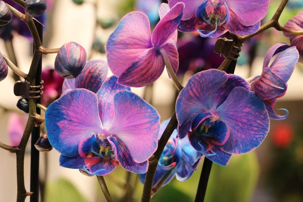 Orchideen selbst blau färben