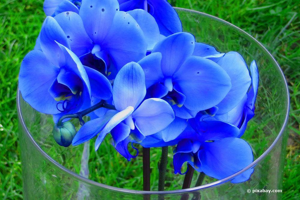 Orchideen im Wasserbad blau färben