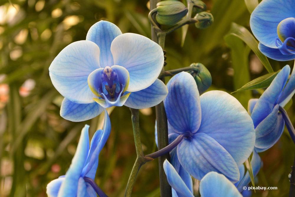 Orchidee künstlich blau färben