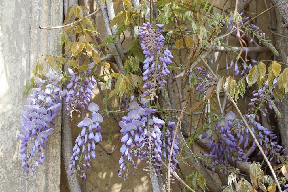 Blauregen mit seinen traubenförmigen Blüten