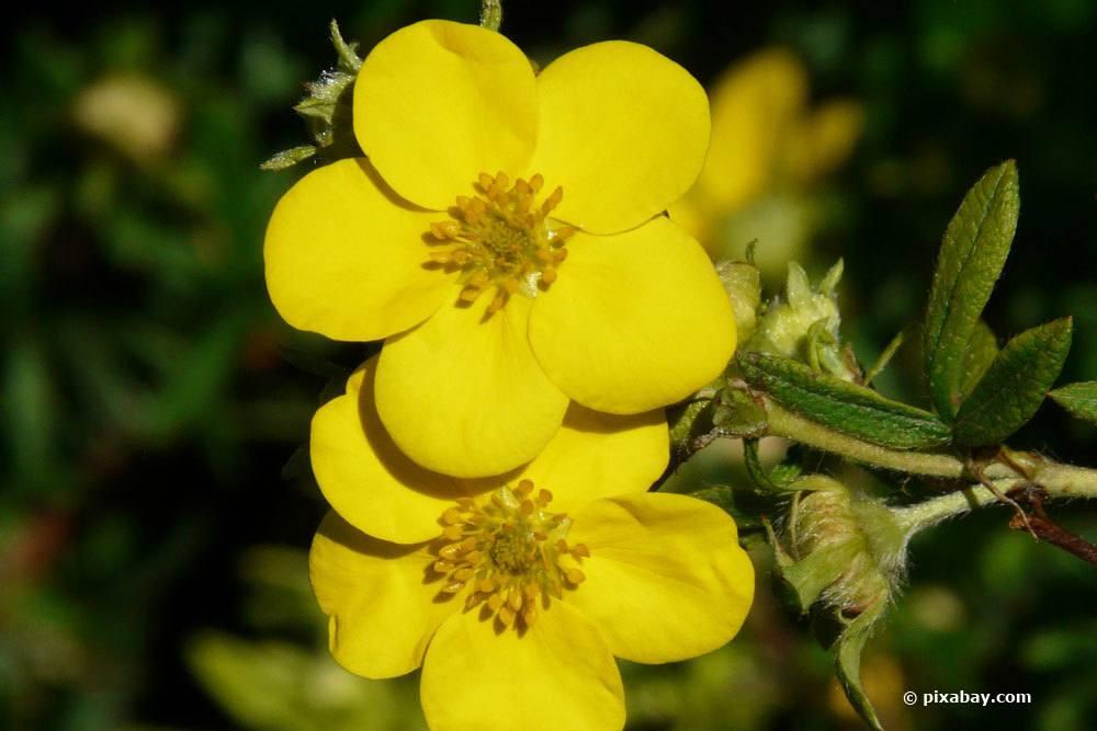 Fingerstrauch mit seinen gelben Blüten