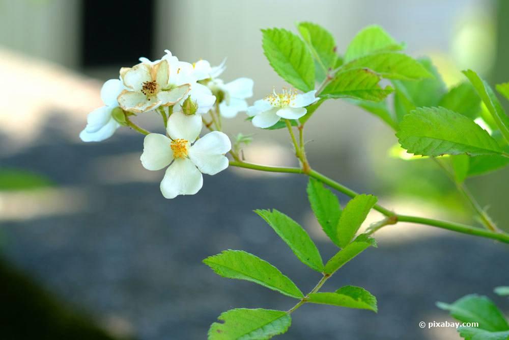Fingerstrauch mit weißer Blütenfarbe
