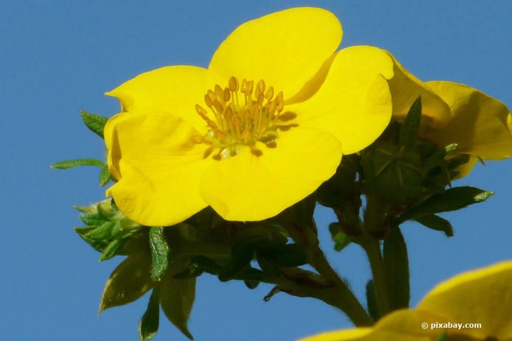 Fünffingerstrauch hat eine lange Blütezeit