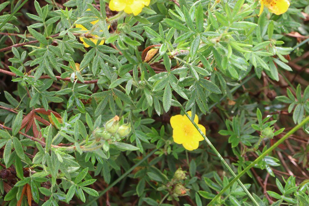 Fünffingerstrauch gibt es in verschiedenen Blütenfarben
