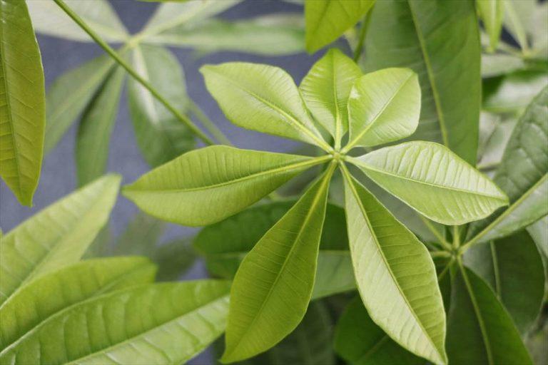 Glückskastanie ist eine beliebte Zierpflanze