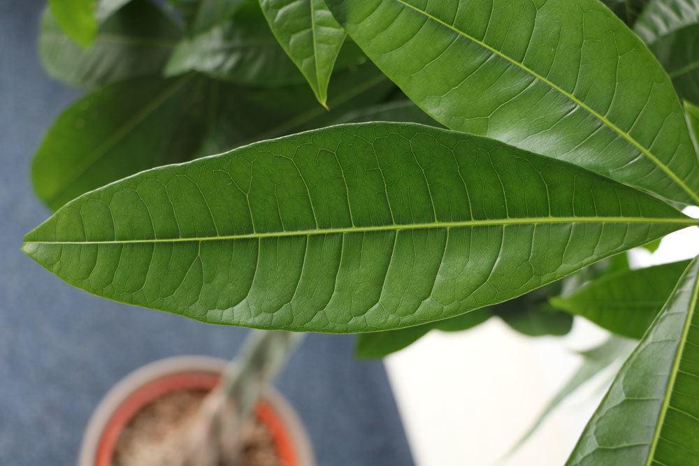 Glückskastanie wird auch wilder Kakaobaum genannt