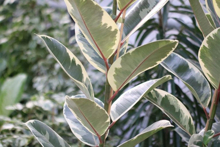ist Gummibaum, Ficus elastica giftig