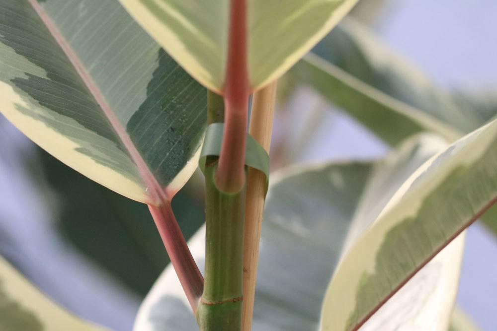 Ficus elastica kann Vergiftungssymptome auslösen