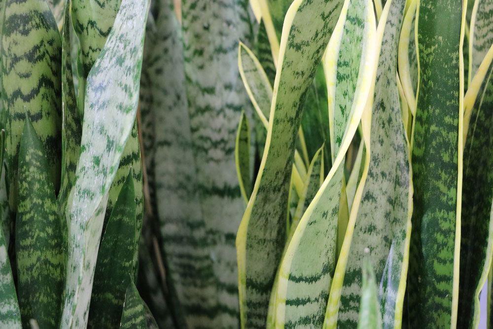 Bogenhanf ist in seinen Pflanzenteilen giftig