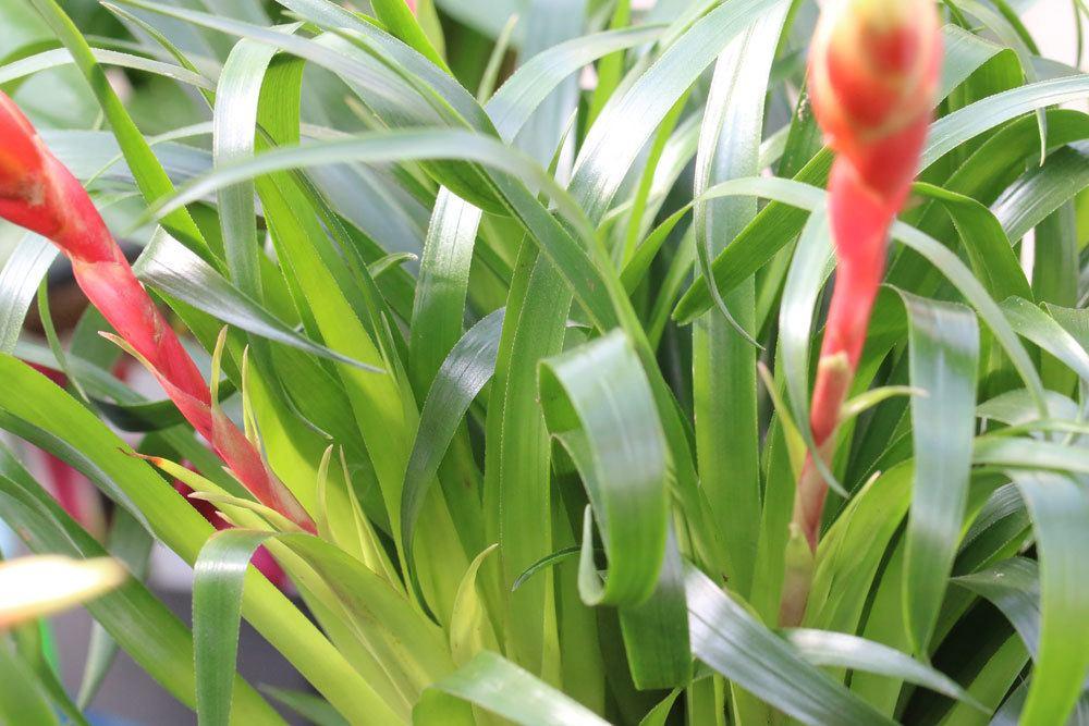 die Blätter der Bromelie können Verletzungen hervorrufen