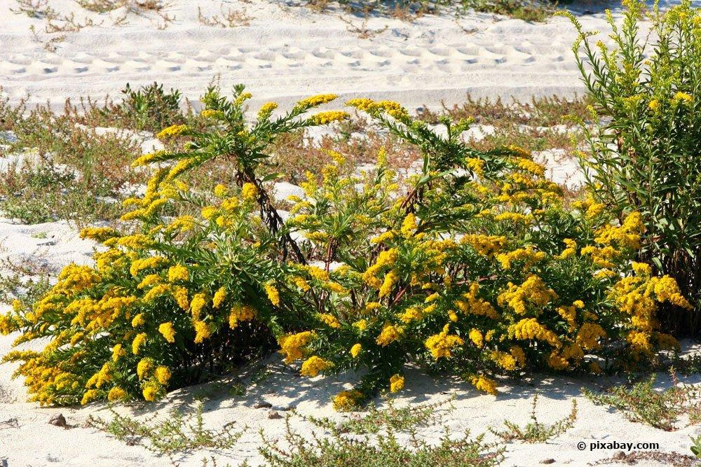 Goldraute dient auch als Heilpflanze