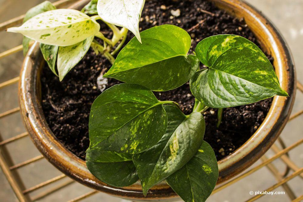 Die Blätter der Efeutute sind leicht giftig.