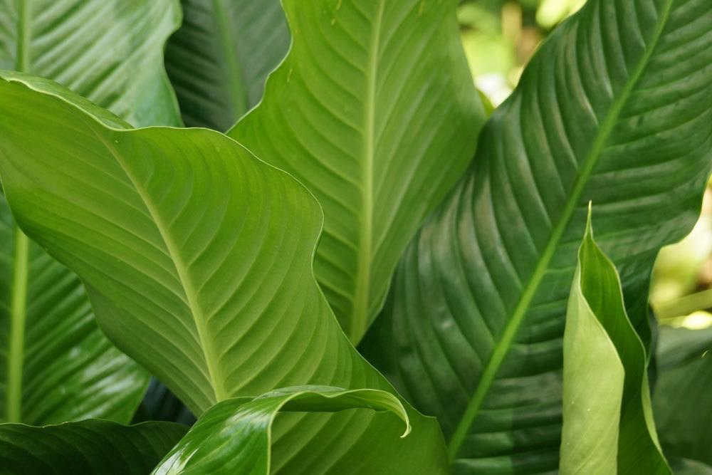 Einblatt, Spathiphyllum enthält toxische Oxalsäure