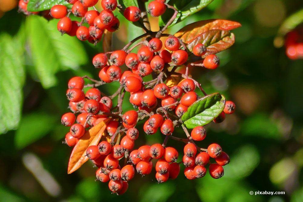 Feuerdorn mit seinen orange-roten Früchten