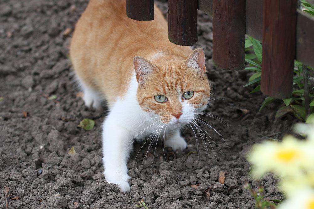 Ligusterhecken sind sehr gefährlich für Katzen