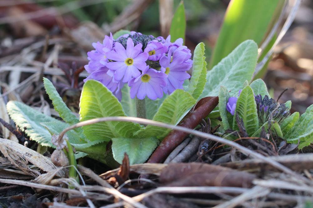 Primula denticulata blüht von März bis Mai