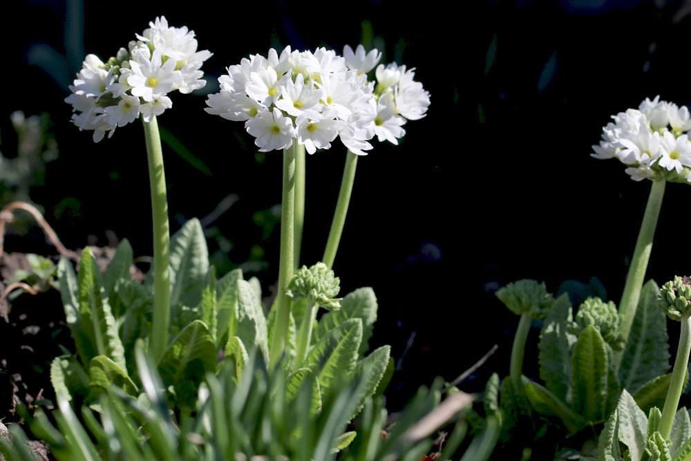 Kugel-Primel mit weißen Blütenkugeln