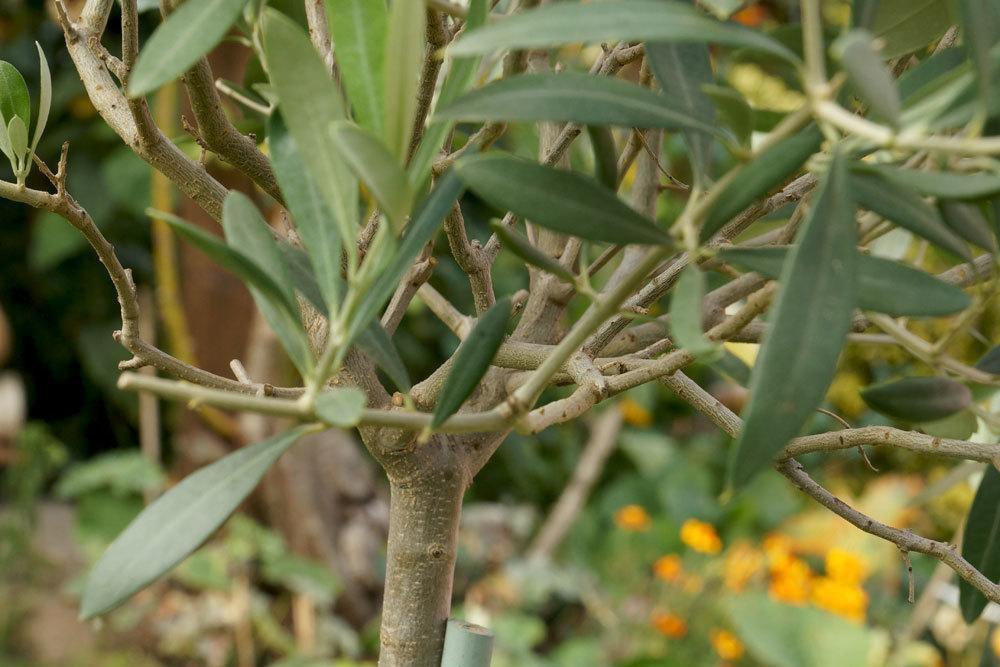 Olea europaea ist auch als Hochstämmchen kultivierbar