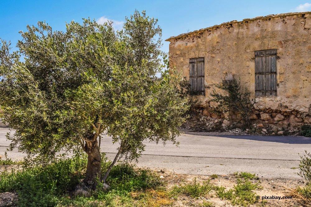 Olivenbaum im Freien richtig überwintern