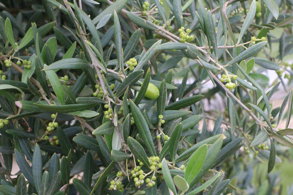 Olivenbaum mit Steinfrüchten