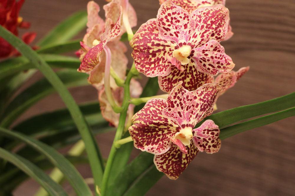 Orchideen brauchen Nährstoffe in Form von Dünger