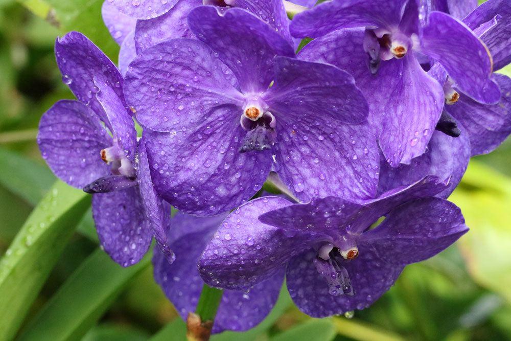 Orchideen vertragen keine Staunässe beim Gießen