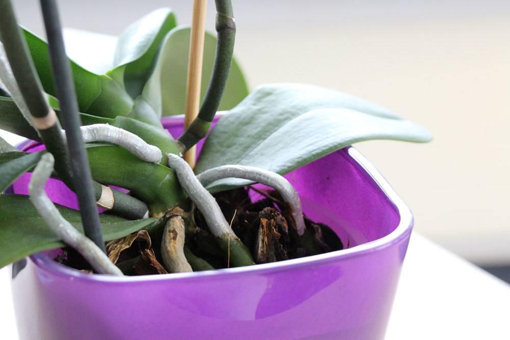 Orchideen im Übertopf richtig gießen