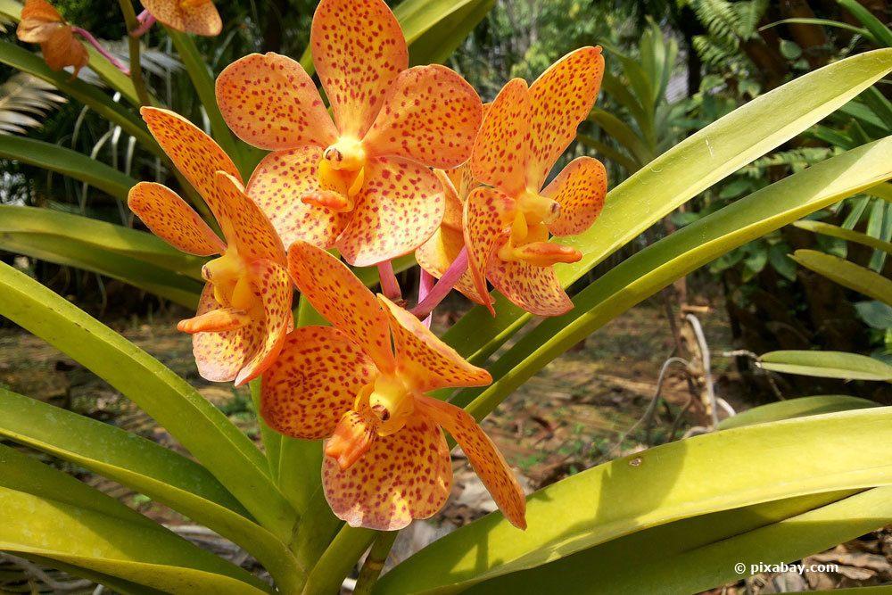 Orchidee mit gelb verfärbten Blättern