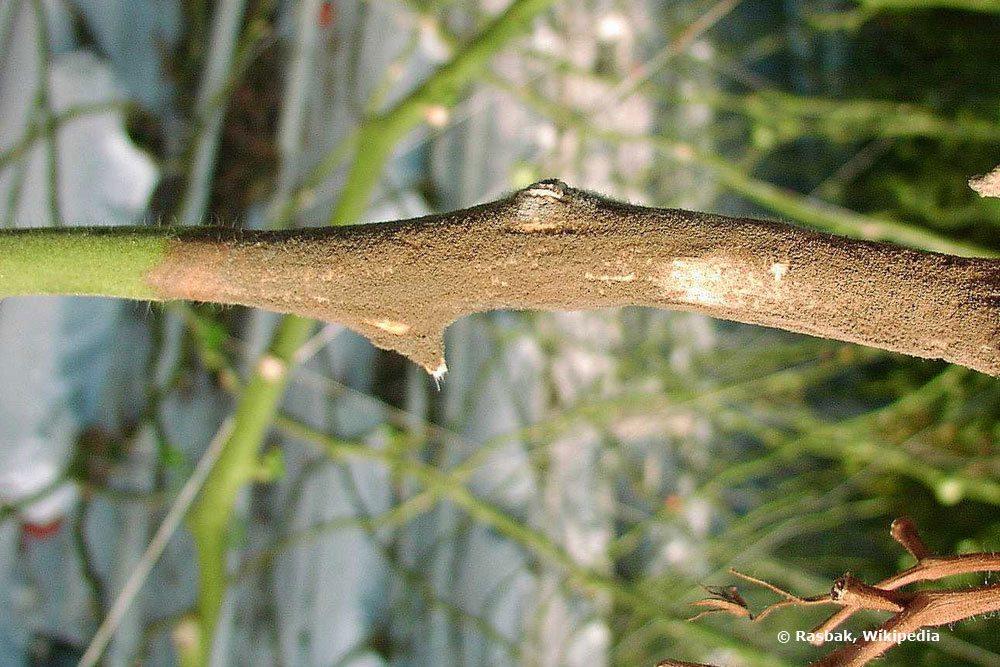 Botrytis-Befall an einem Pflanzenstängel