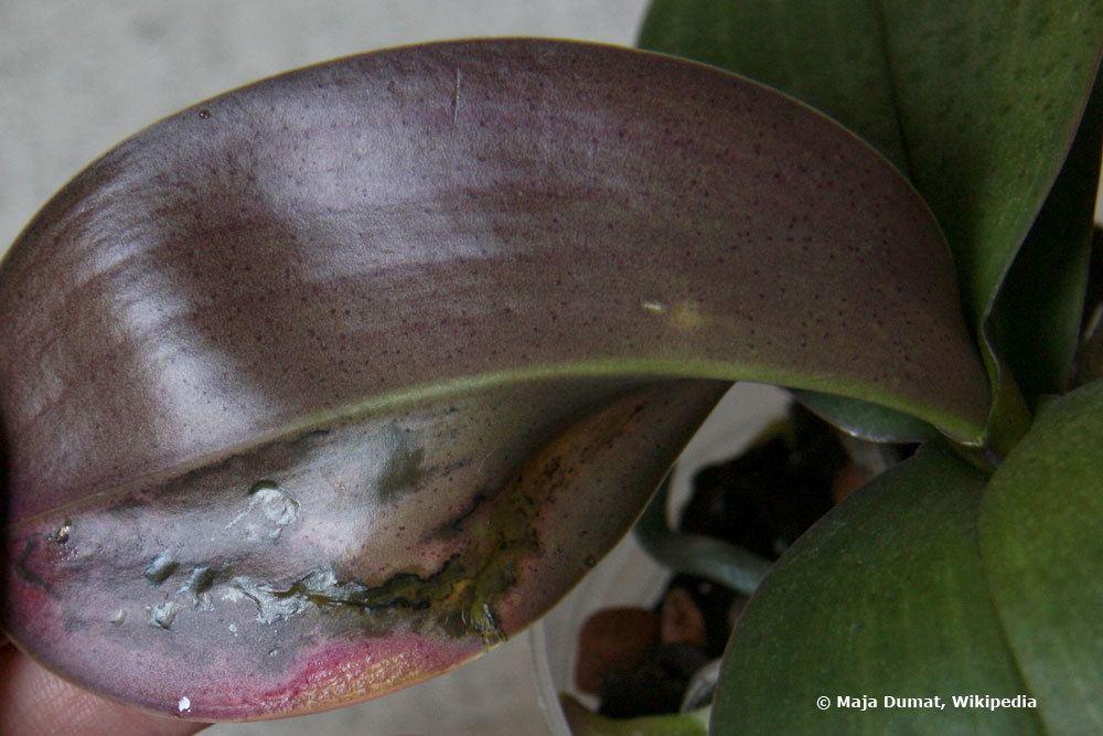 Blatt-Infektion an einer Orchidee