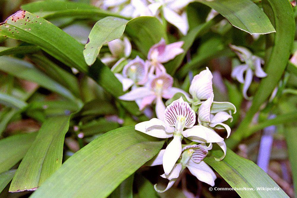 braune Flecken auf Orchideenblättern