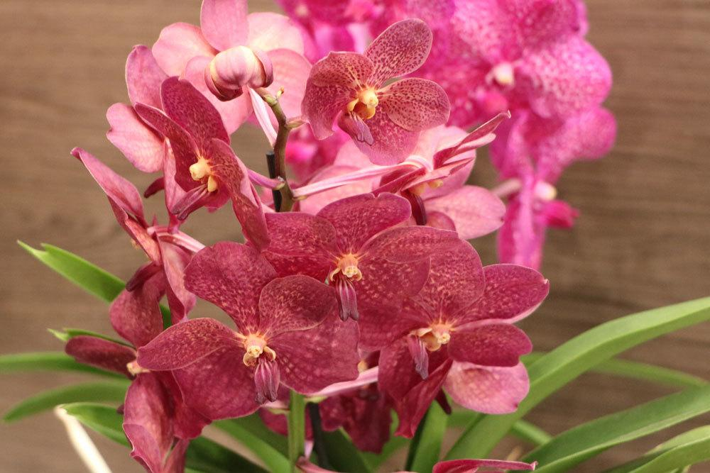Orchideen blühen nach dem Umtopfen auf