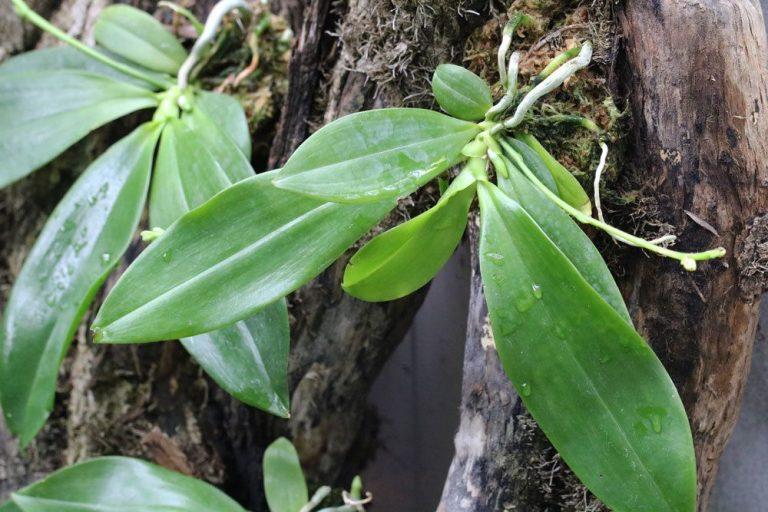 Orchideen durch Ableger vermehren