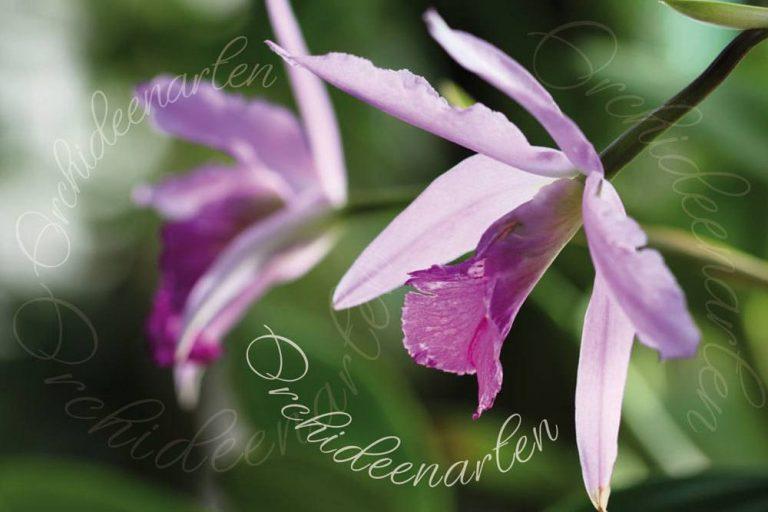 Orchideenarten von A bis Z